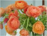 Friday Florals - Ranunculus